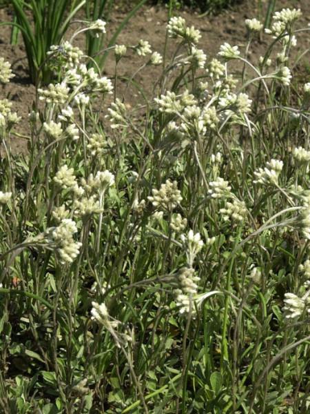 Antennaria doica var. borealis (M), weißes Katzenpfötchen, wolliges Katzenpfötchen