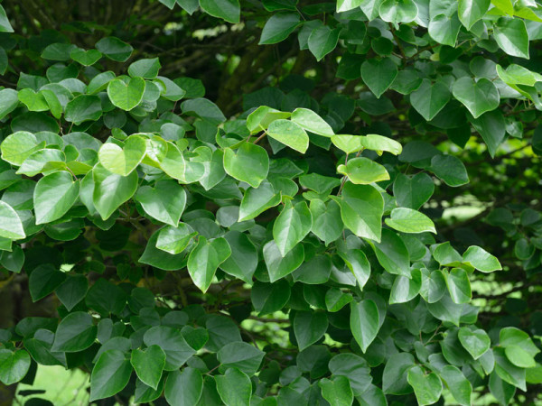 Cercis chinensis Avondale, Chinesischer Judasbaum