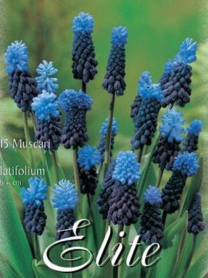 Traubenhyazinthe 'Latifolium', Muscari (Art.Nr. 597190)