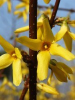 Forsythia intermedia 'Lynwood', Goldglöckchen