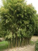 Phyllostachys atrovaginata 'Green Parfume', Weihrauchbambus