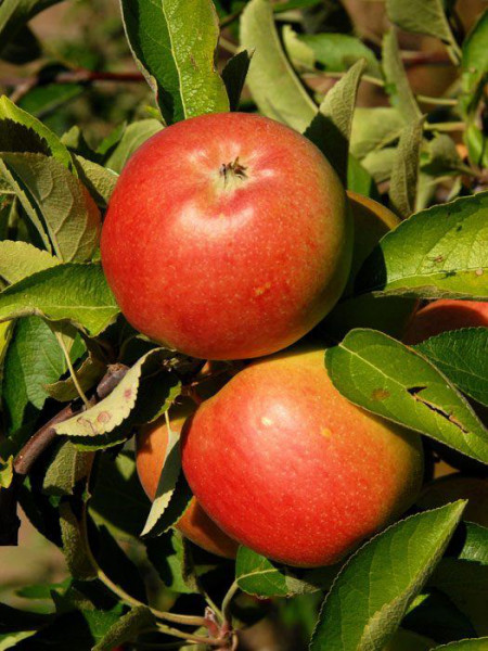 Der Apfel Braeburn