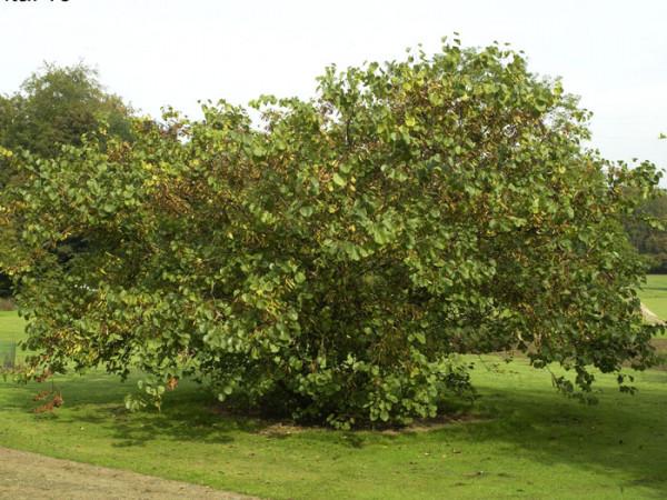 Der Judasbaum im Sommer