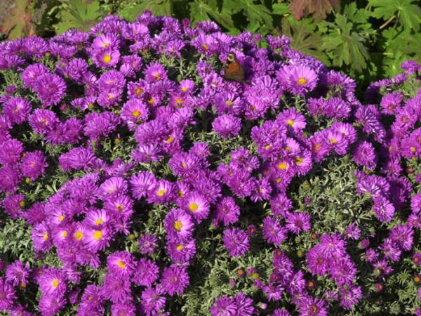 Aster dumosus 'Kassel', purpurrote Kissen-Aster, Herbst-Aster