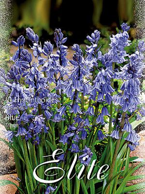 Hasenglöckchen 'Blau', Hyacinthoides (Art.Nr. 596842)