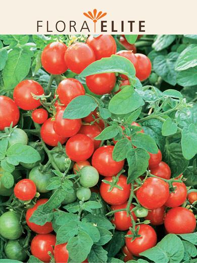 Tomate 'Gartenperle' (Art.Nr. 21540)