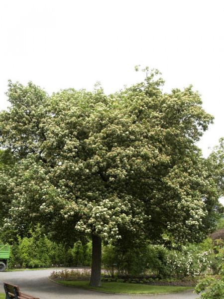 Elsbeere, Sorbus torminalis