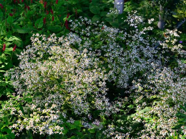 Aster divaricatus (M), Wald-Aster, Gebüsch-Aster