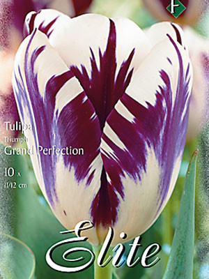 Triumph-Tulpe 'Grand Perfection' (Art.Nr. 595207)