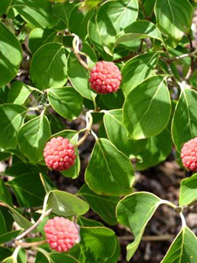 Früchte des Japanischen Blumenhartriegels