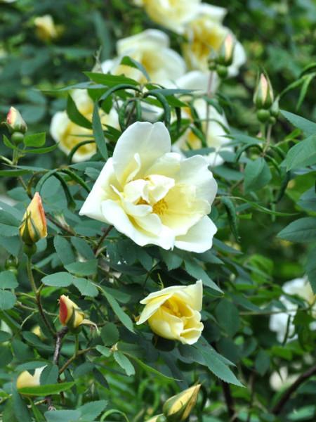 Blüte der Rose Frühlingsgold