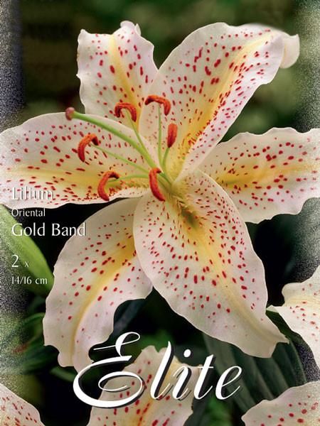 Orientalische Lilien-Hybride 'Goldband' (Art.Nr. 597110)