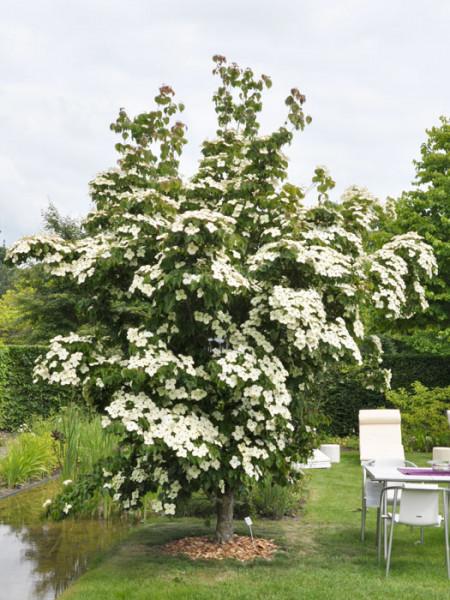 Japanischer Blumenhartriegel als Kleinbaum