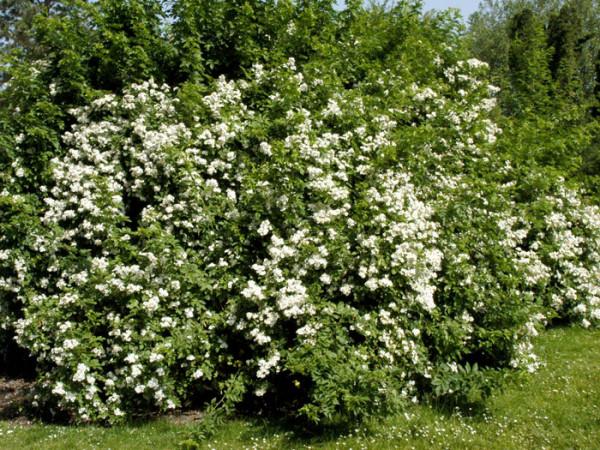 Vielblütige Rose Blütenhecke