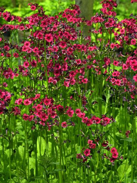 Primula japonica 'Millers Crimson', Japan-Schlüsselblume, japanische Etagenprimel