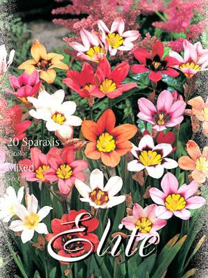 Zigeunerblumen, Mischung, Sparaxis dricolor (Art.Nr. 522070)