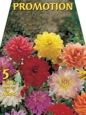 Seerosenblütige Dahlien-Prachtmischung (Art.Nr. 522304)