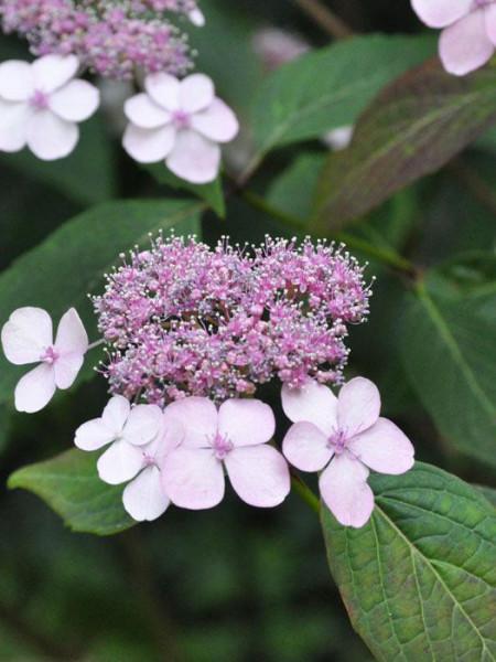 Teller-Hortensie Blüte