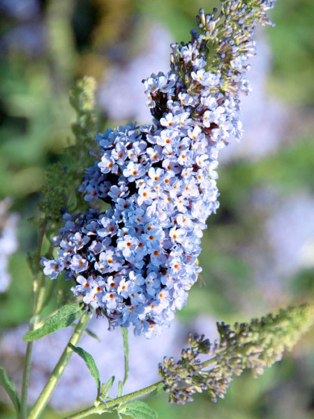 Blütenstand des Zwerg-Sommerflieders 'Sky Blue'