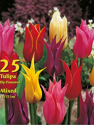 Lilienblütige Tulpen-Prachtmischung (Großpackung) (Art.Nr. 597630)
