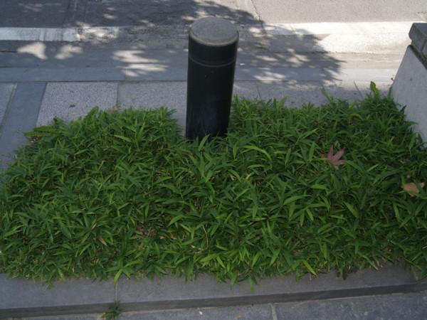 Zwergbambus Straßengrün