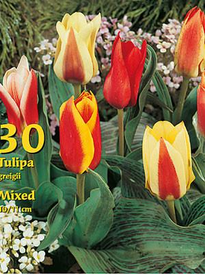 Greigii-Tulpen-Prachtmischung (Großpackung) (Art.Nr. 597826)