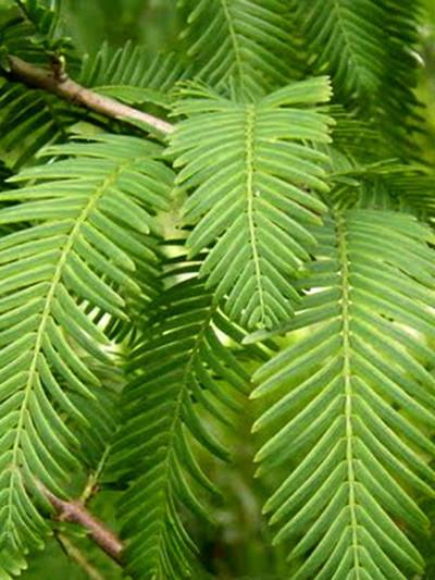 Metasequoia glyptostroboides 'Matthaei', Kugel-Mammutbaum - XXL-Produkt