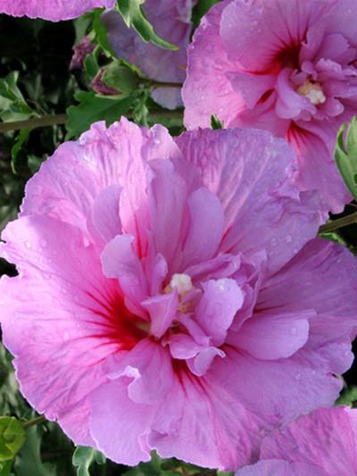 Blüte Roseneibisch Lavender Chiffon