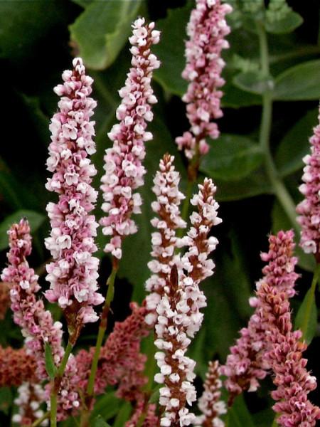 Aufrechter Blütenstand des Teppich-Knöterichs