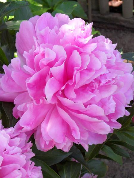 Paeonia officinalis 'Rosea Plena', echte Bauern-Pfingstrose
