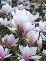 Magnolia soulangiana, Tulpen-Magnolie