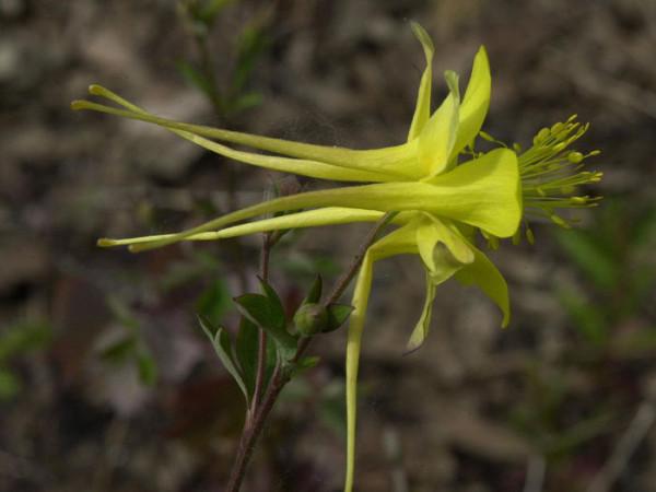 Aquilegia chrysantha 'Yellow Queen', Gelbe Akelei, langspornige Akelei