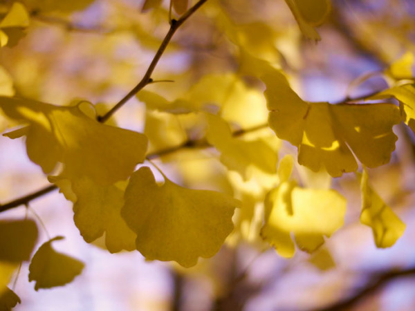 Die gelbe Herbstfärbung des Fächerblattbaums