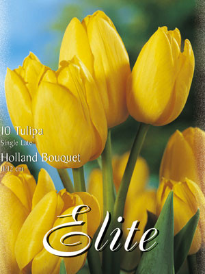Triumph-Tulpe 'Holland Bouquet' (Art.Nr. 595220)