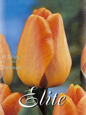 Darwin-Hybrid-Tulpe 'Daydream' (Art.Nr. 595302)