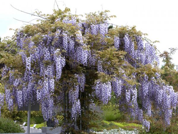 Blühender Blauregen im Hausgarten