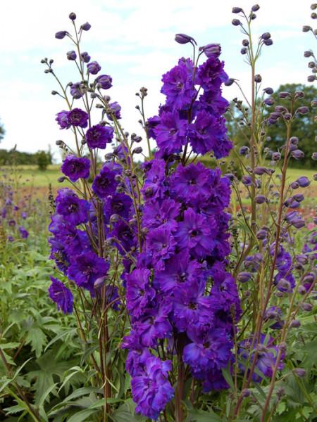 Delphinium-Hybride 'Pagan Purples', Gefüllter Rittersporn