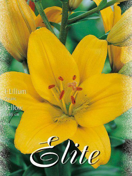 Asiatische Lilien-Hybride 'Gelb' (Art.Nr. 597108)
