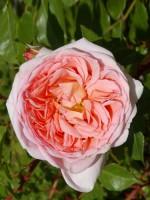 Rose Abraham Darby ® - Austin