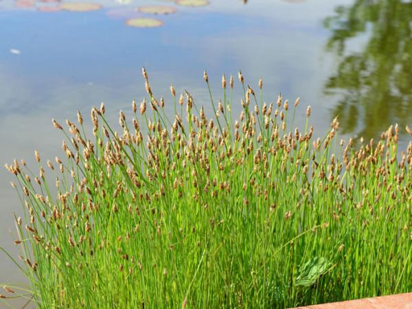 Eleocharis palustris, Gewöhnliche Sumpfsimse
