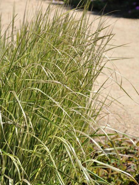 Calamagrostis x acutiflora 'Overdam' (M), Gestreiftes Reitgras, weißbuntes Sandrohr
