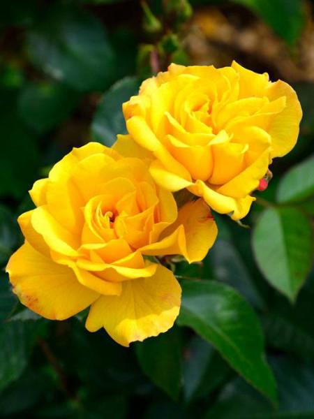 Blüte der Rose Goldmarie 82