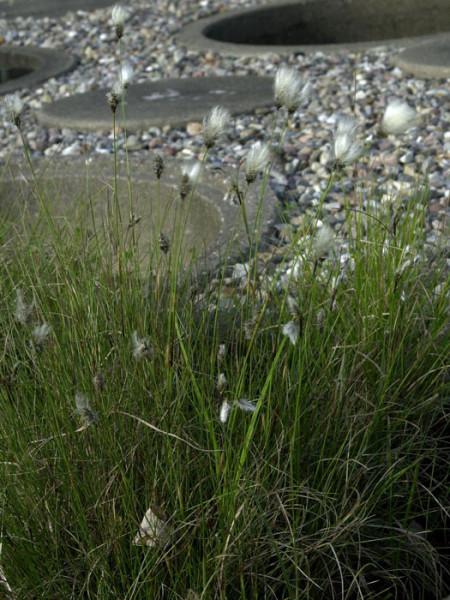 Eriophorum angustifolium, Schmalblätriges Wollgras