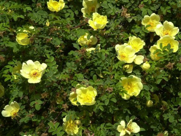 Strauch der Rose Hugonis