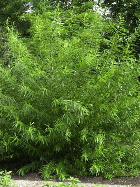 Salix viminalis, Korbweide