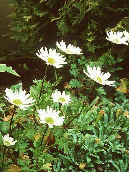 Dendranthema arcticum, Grönlandmargerite, Arcanthemum