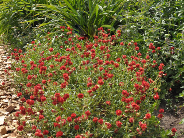 Das Garten-Sonnenröschen 'Rubin'
