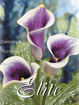 Calla 'Picasso', Zantedeschia (Art.Nr. 522160)