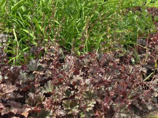 Heuchera x micrantha 'Chocolate Ruffles', Purpurglöckchen, Purpurblatt