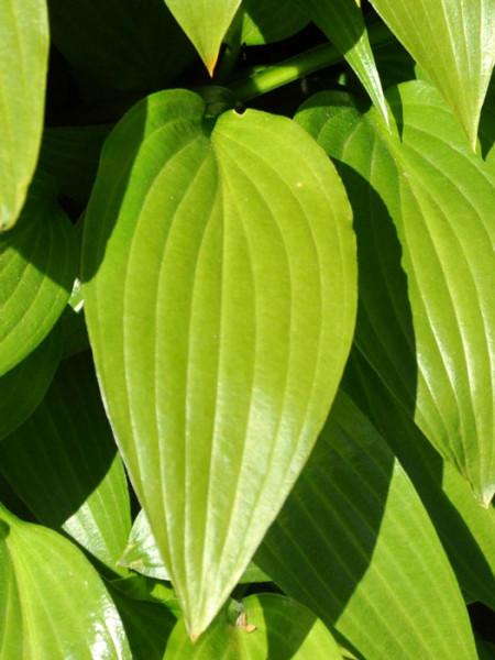 Hosta lancifolia, Lanzen-Funkie, Herzblatt-Lilie